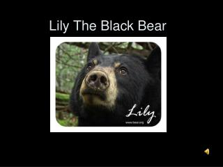 Lily The Black Bear
