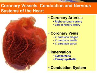 Coronary Vessels, Conduction and Nervous Systems of the Heart