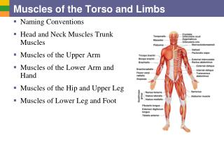 Muscles of the Torso and Limbs