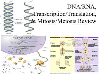 DNA/RNA, Transcription/Translation, & Mitosis/Meiosis Review