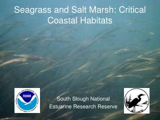 Seagrass and Salt Marsh: Critical Coastal Habitats
