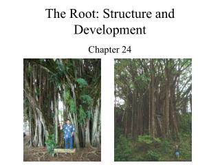 The Root: Structure and Development