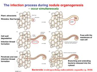 The infection process during nodule organogenesis  ─ occur simultaneously