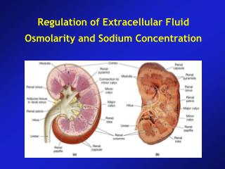 Regulation of Extracellular Fluid Osmolarity and Sodium Concentration