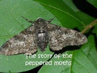 The story of the  peppered moths