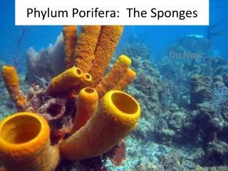 Phylum Porifera : The Sponges