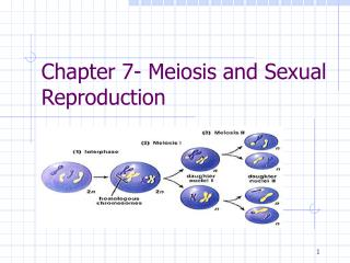 Chapter 7- Meiosis and Sexual Reproduction