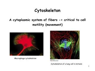 Cytoskeleton A cytoplasmic system of fibers -> critical to cell motility (movement)
