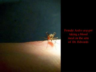 Female  Aedes aegypti taking a blood meal on the arm of  Dr. Edwards