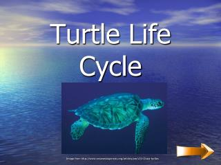 Turtle Life Cycle