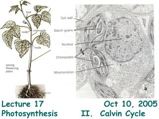 Lecture 17				  Oct 10, 2005 Photosynthesis   	II.  Calvin Cycle