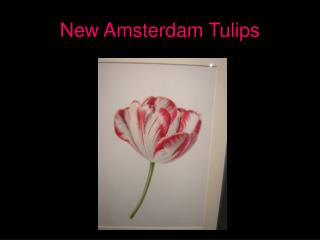 New Amsterdam Tulips