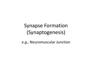 Synapse Formation ( Synaptogenesis )
