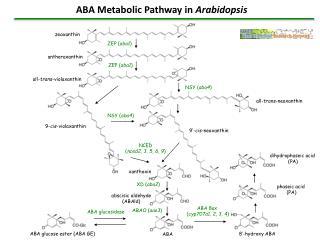 ABA Metabolic Pathway in Arabidopsis