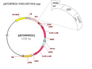 pB7GWIWG2-P35S:GFP:NOS map