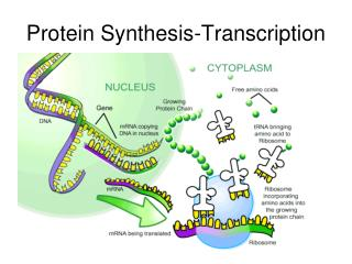 Protein Synthesis-Transcription