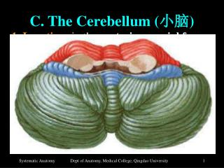 C. The Cerebellum ( 小脑 )
