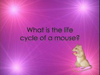 What is the life cycle of a mouse