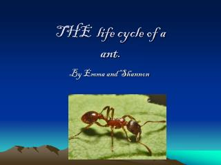 THE  life cycle of a ant.