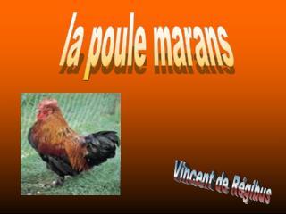 la poule marans