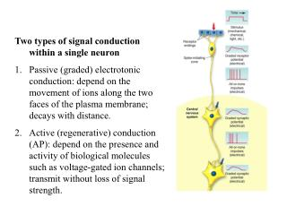 Two types of signal conduction within a single neuron