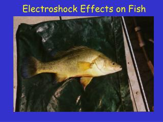 Electroshock Effects on Fish