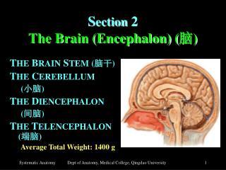 S ection 2 The Brain (Encephalon) ( 脑 )