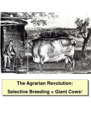 The Agrarian Revolution: Selective Breeding = Giant Cows !