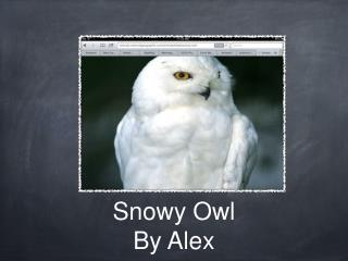 Snowy Owl By Alex
