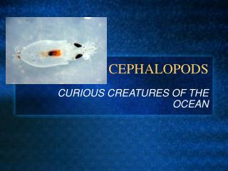 CEPHALOPODS
