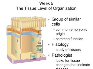 Week 5  The Tissue Level of Organization