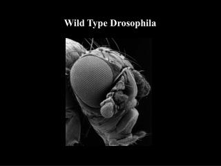 Wild Type Drosophila