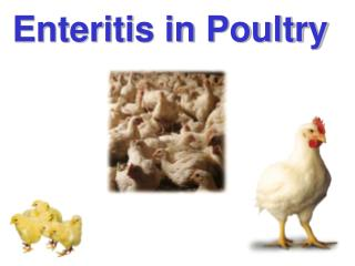 Enteritis in Poultry