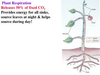 Plant Respiration Releases 50% of fixed CO 2 Provides energy for all sinks,