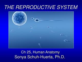 THE REPRODUCTIVE SYSTEM Ch 25, Human Anatomy Sonya Schuh-Huerta, Ph.D.