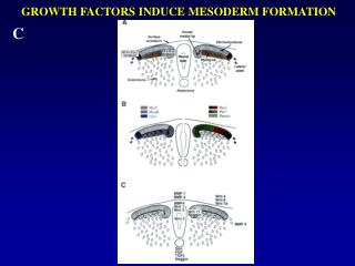 GROWTH FACTORS INDUCE MESODERM FORMATION