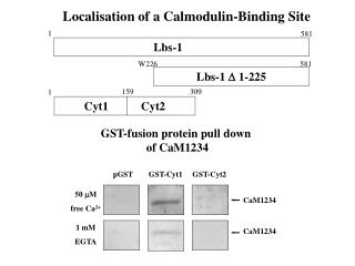 Localisation of a Calmodulin-Binding Site