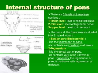 Internal structure of pons