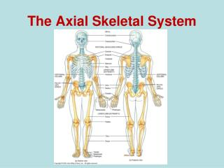 The Axial Skeletal System
