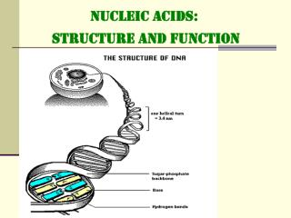 NUCLEIC ACIDS:  STRUCTURE and FUNCTION