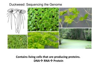 Duckweed: Sequencing the Genome