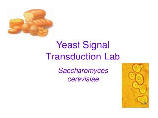 Yeast Signal Transduction Lab Saccharomyces cerevisiae