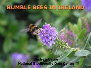 BUMBLE BEES IN IRELAND
