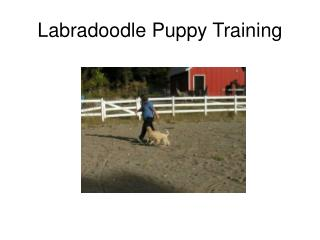 Labradoodle Puppy Training