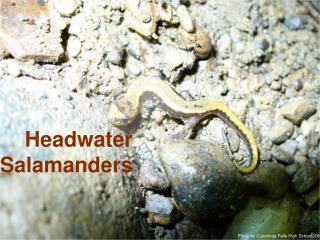 Headwater Salamanders