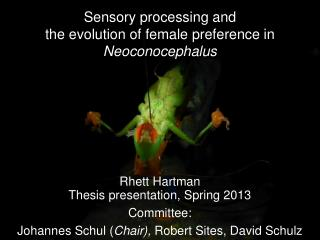 Sensory processing and the evolution of female preference in  Neoconocephalus