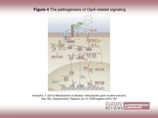 Figure 4  The pathogenesis of OipA-related signaling