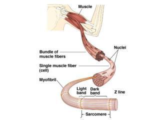 Thick Filament: Myosin