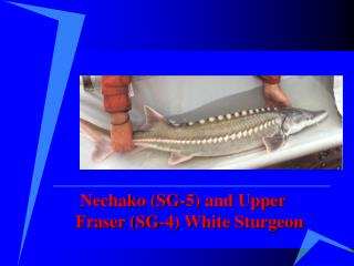 Nechako (SG-5) and Upper Fraser (SG-4) White Sturgeon