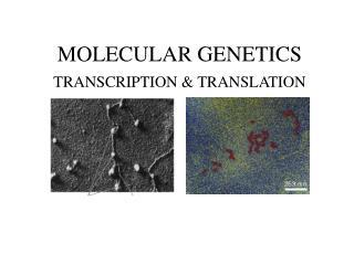 MOLECULAR GENETICS TRANSCRIPTION & TRANSLATION